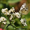 This is an image of a Checkered White butterfly