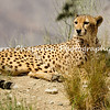 "This image is of a female Cheetah relaxing. Unlike true big cats of subfamily Pantherinae, the cheetah can purr as it inhales, but cannot roar. By contrast, the big cats can roar but cannot purr, except while exhaling. The cheetah is still considered by some to be the smallest of the big cats. While it is often mistaken for the leopard, the cheetah does have distinguishing features, such as the aforementioned long ""tear-streak"" lines that run from the corners of its eyes to its mouth, and spots that are not ""rosettes"". The cheetah is a vulnerable species. Of all the big cats, it is the least able to adapt to new environments. Once widely hunted for its fur, the cheetah now suffers more from the loss of both habitat and prey. Cheetahs are included on the International Union for Conservation of Nature (IUCN) list of vulnerable species (African subspecies threatened, Asiatic subspecies in critical situation) as well as on the US Endangered Species Act: threatened species."