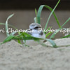 This image is of a Snowy Plover