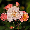 This image is of Flowering Girl roses, wet with morning dew, photographed at Descanso Gardens in La Canada, Flintridge, CA.