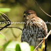 This image is of a juvenile Cooper's Hawk, that had recently left its nest, with two of its siblings. I was able to get very close to the bird while it was learning to fly.