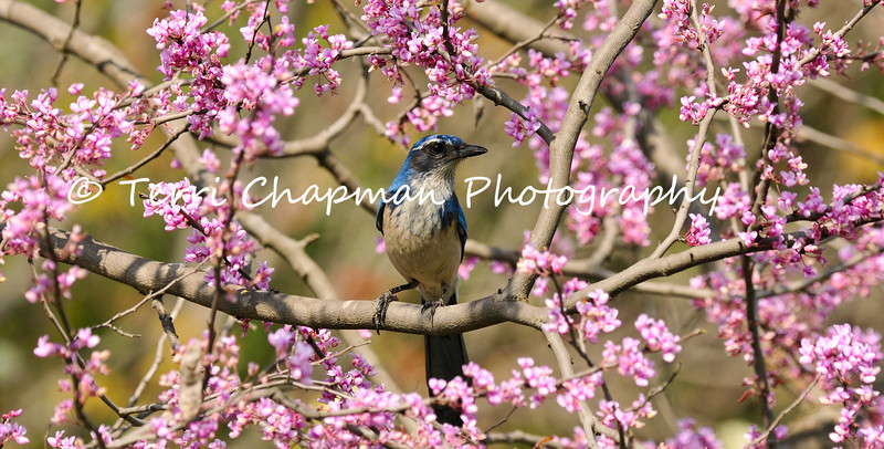 This image is of an adult California Scrub-Jay perched in a blooming Redbud Tree. Here are some fun facts about this species:<br /> <br /> The oldest known California Scrub-Jay lived to be at least 15 years, 9 months old. It was banded in California in 1932 and found in 1948 in the same state.<br /> <br /> California Scrub-Jays—like many members of the crow and jay family—have a mischievous streak. They've been caught stealing acorns from Acorn Woodpecker caches, and some even steal acorns they've watched other jays hide. When these birds go to hide their own acorns, they check first that no other jays are watching.<br /> <br /> You might see California Scrub-Jays standing on the back of a mule deer. They're eating ticks and other parasites. The deer seem to appreciate the help, often standing still and holding up their ears to give the jays access.