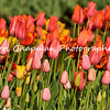 This image is of a Spring Tulip display at Descanso Gardens in La Canada, Flintridge, CA.