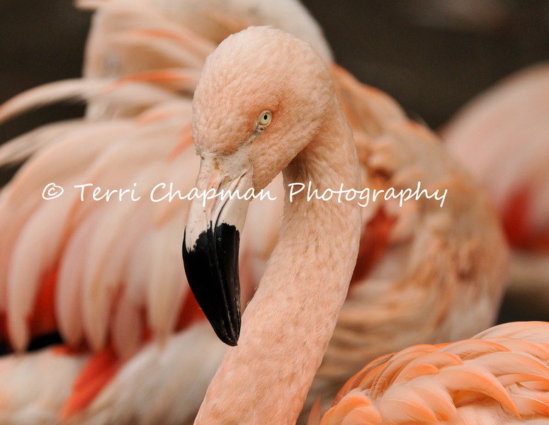 This image is of a Chilean Flamingo living at the Los Angeles Zoo & Botanical Gardens.  The Chilean Flamingo's bill is equipped with comb-like structures that enable it to filter food—aquatic invertebrates, diatoms and algae—from the water. They derive their pink coloration from the natural beta carotene found in the foods they eat. In the wild, Chilean Flamingos live in warm, tropical environments in South America.