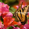 This image is a Tiger Swallowtail on Lantana blooms