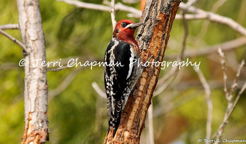 This image, of a male Red-breasted Sapsucker, was featured in the summer 2017 issue of American Forests magazine. This beautiful bird was photographed in Valyermo, CA. Red-breasted Sapsuckers are winter visitors to Southern California and like  other sapsuckers, these birds drill holes in trees and eat the sap as well  as insects attracted to it. Red-breasted Sapsuckers visit the same tree multiple times, drilling holes in neat horizontal rows (as shown in the photograph). A bird will leave and come back later, when the sap has started flowing from the holes. Sapsuckers also eat seeds and berries.