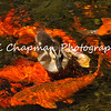 This is one of my favorite photographs. It is of a Mallard Duckling swimming in a koi pond. This photograph was taken in the serenity garden of a local hospital and the mother Mallard apparently comes back each year to this garden to raise her offspring. I was a visitor to the hospital and I watched several hospital patients come to the garden to enjoy the ducklings and they said it took their mind off the reason they were hospitalized. The power of nature!