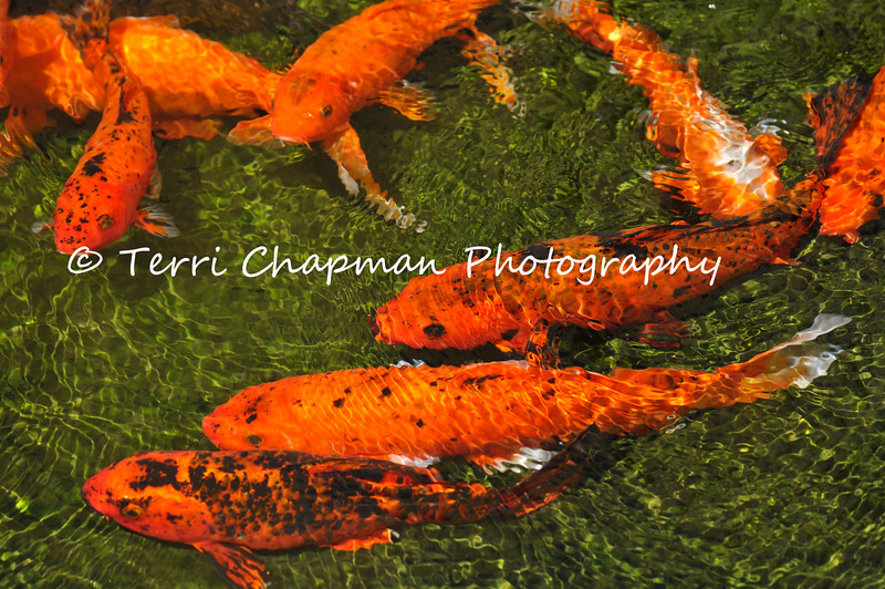 This is an image of Koi swimming in a pond