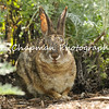 This image is of a wild Cottontail Rabbit quietly resting among the vegetation