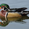 This image is of a a male Wood Duck. The Wood Duck is one of the most stunningly beautiful of all waterfowl. Males are iridescent chestnut and green, with ornate patterns on nearly every feather; the elegant females have a distinctive profile and delicate white pattern around the eye. These birds live in wooded swamps, where they nest in holes in trees or in nest boxes put up around lake margins. Unlike most waterfowl, Wood Ducks are equipped with strong claws that can grip bark and perch on branches and nest in trees and are comfortable flying through woods. Their broad tail and short, broad wings help make them maneuverable. When swimming, the head jerks back and forth much as a walking pigeon's does. You often see Wood Ducks in small groups (fewer than 20), keeping apart from other waterfowl.
