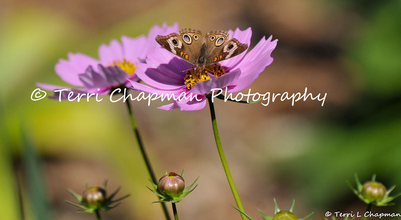 This image is of a Common Buckeye Butterfly sipping nectar from a Cosmos flower