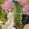This image is of a male Indian Peacock proudly displaying his stunning tail feathers. This male was photographed at the LA Arboretum during early Spring when the female peahens were all over the gardens and this stunning male decided he was going to fly up on this rock and pose for the girls. The Pink Trumpet tree in the background provided a beautiful backdrop for the peacock's colorful feathers.