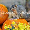 This image is of a Fox Squirrel standing on a pumpkin, which was part of an Autumn display at Descanso Gardens.