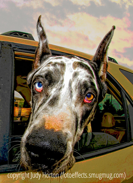 Great Dane - an old photo, reprocessed