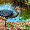 Great Blue Heron, another old photo, reprocessed