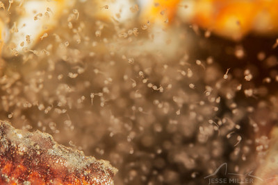 Red Rock Crab Hatchlings - Redondo in Des Moines, Washington