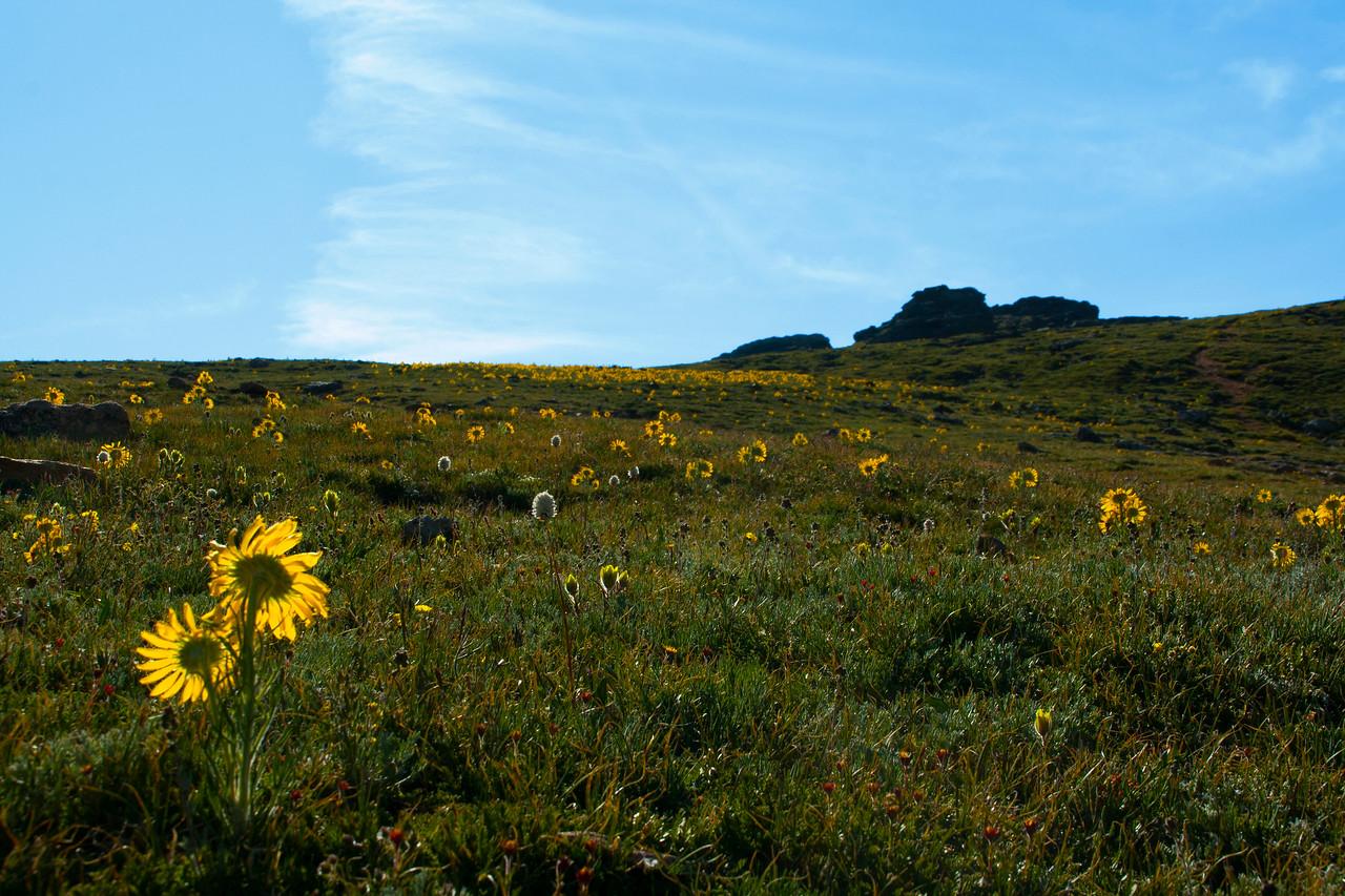 Facing the Sun~ Colorado Wildflowers on Trail Ridge Road, Rocky Mountain National Park