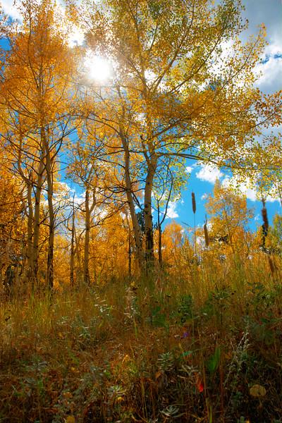 Autumn Aspen~  Estes Park