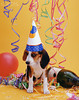 Beagle Puppy with Party Hat and Streamers --- Image by © Stan Fellerman/Corbis
