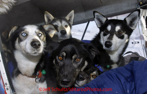 Sunday March 11, 2012   A gaggle of dropped dogs arrives in Dave Looney 's plane at Unalakleet.   Iditarod 2012.