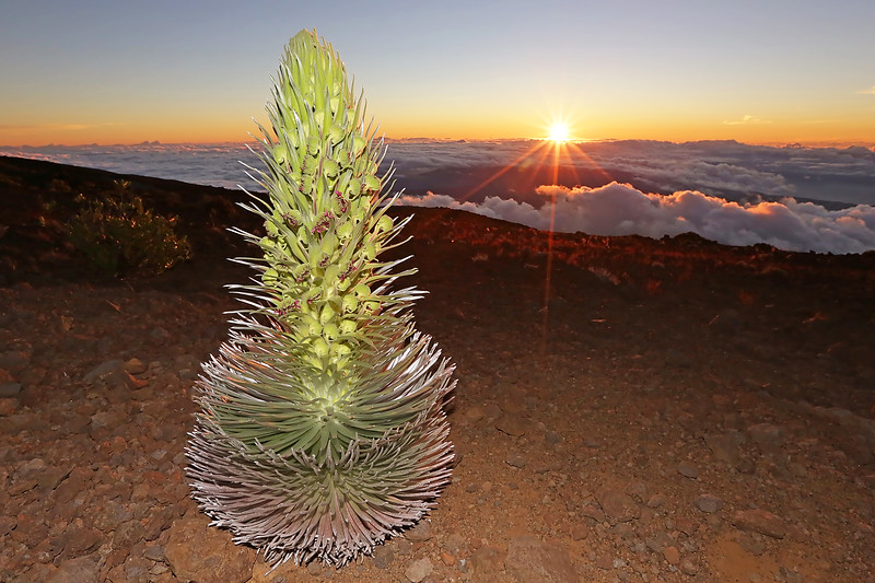 This shot was taken at 10,000 feet above sea level, on the top of Haleakala Crater on the island of Maui, Hawaii.   We were fortunate enough to find this sunset view of a rare Silversword plant.   This exotic plant only blooms once then begins to die.   They only grow in this unique and remote volcanic environment, high above the clouds, in Hawaii... and nowhere else on earth.