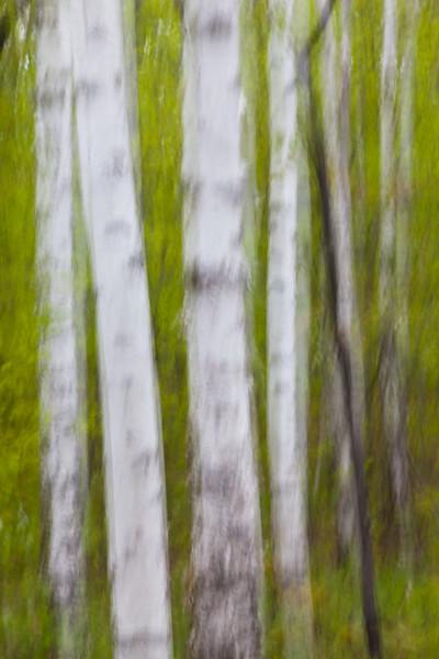 Birch Impression