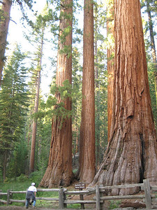 Big Sequoias at Mariposa Grove, Yosemite National Park! Pretty much the oldest living things on the planet! Some are over 2000 years old!
