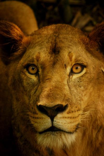 Asiatic lion close-up
