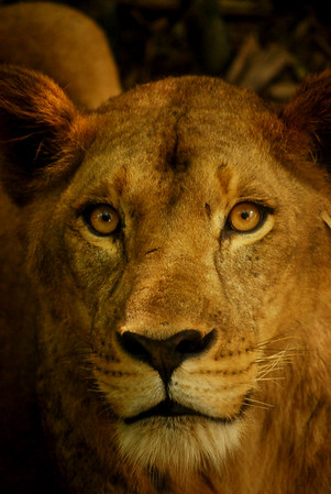 Asiatic lion close-up