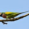 rose-breasted parakeet