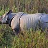 one horned rhino in Kaziranga