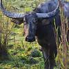 wild asian water buffalo