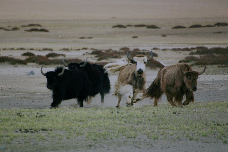 Wild yaks on the run! Actually, Gabe startled them into a sprint while I snapped the picture. And they probably just belonged to some Changpa family.