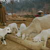 Sheep eating from a manger in a Kashmir village. I wonder how comfortable this one would have been for baby Jesus?
