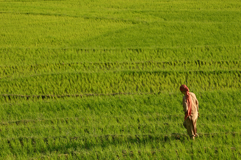 A Kashmiri woman in a field of rice