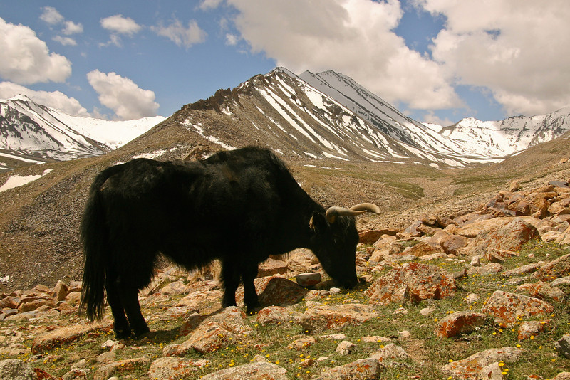 A yak grazes comfortably at 17,000 feet on the northern slopes of the Ladakh Range. In the distance, on the right, you can see a brown cut snaking across the steep snowy ridge - that's the road.