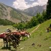 A Bakarwal family on migration near Sonamarg, Kashmir lets their pack horses take a break