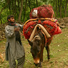 This Bakarwal family is packing up their horses for the day's journey during their long migration