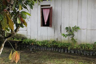 cacao saplings