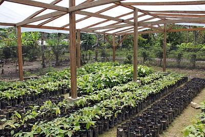 cacao saplings.