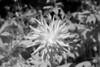 Dahlia in Infrared