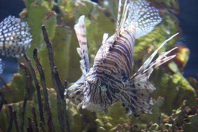 Pouty lionfish.