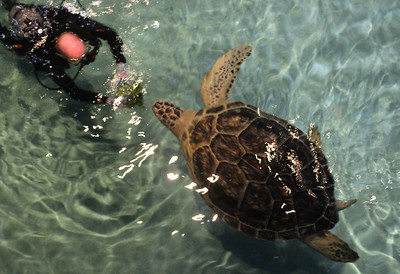 "This is calypso the sea turtle.  She lives in the Maryland Aquarium and loves lettuce which she gets in abundance (along with other savory delights) each day.  She was found off the Long Island Sound with a companion.  Since they live in the tropics it's unusual to find them that far north. Possibly she was a released ""pet""."