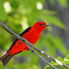 Scarlet Tanager @ Shawnee State Forest. OH - May 2010