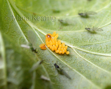 The momma ladybug knows to lay its eggs where there is lots of food.