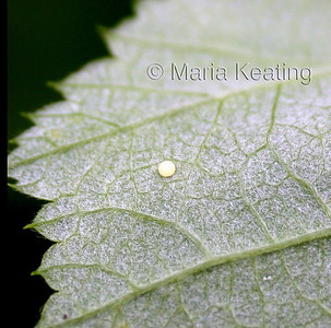 Cabbage Looper Egg. Very round watch for these on all brassicas. The caterpillar will hatch out and loops as it crawls. Adult is a night flying brown moth.