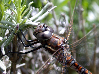 Dragonfly. A Darner hunts swiftly over ponds, lakes and streams eating all sorts of mosquitos and flying insects.
