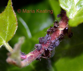 Farmed for their sticky honeydew secretions, aphids are protected by ants.