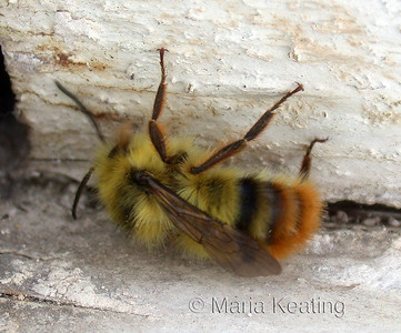 Red Tailed Bumble Bee. Great pollinator watch in the spring for the Queen's flight.