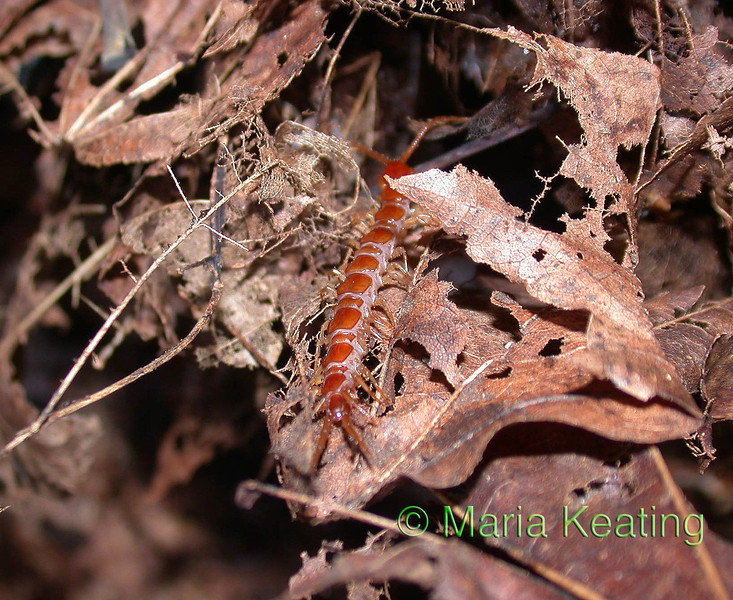 Centipede. Quick reddish insect with a hundred legs. Great in your compost.